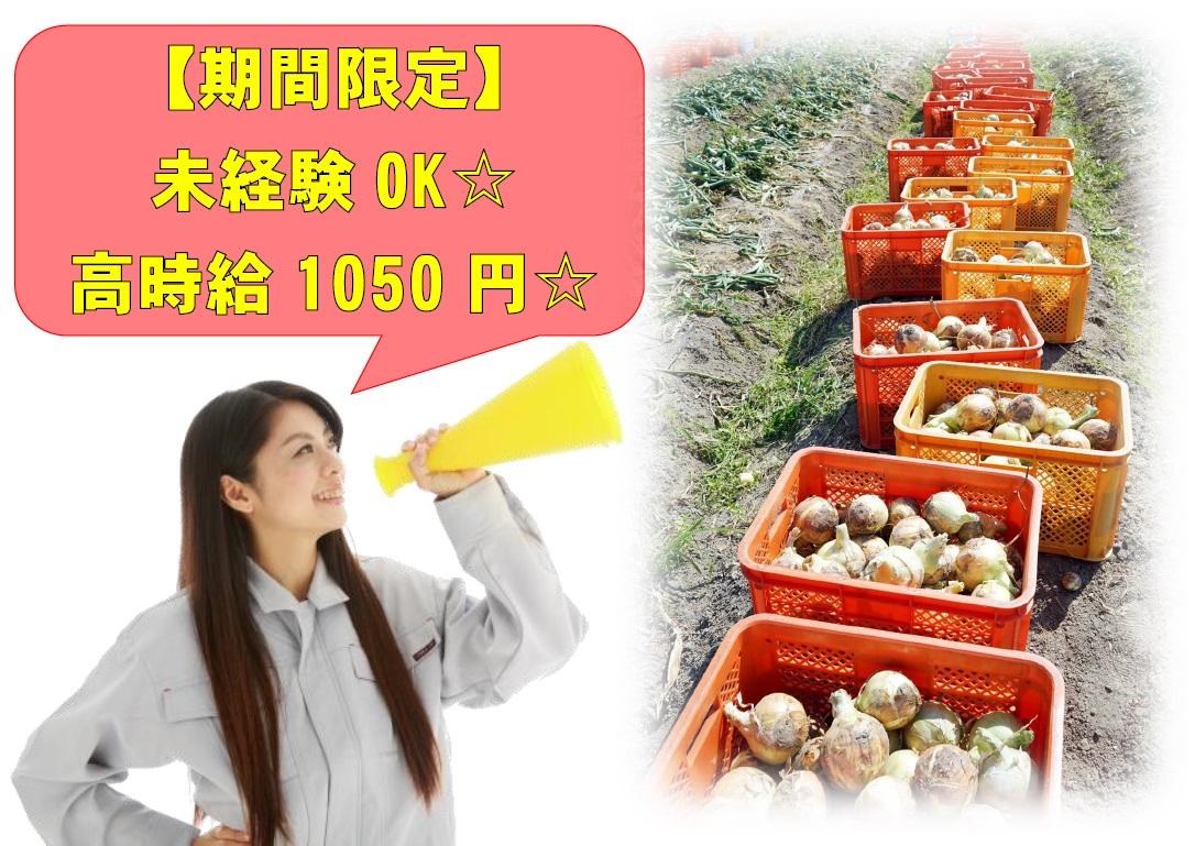 \☆急募☆4ヵ月半程度の期間限定☆高時給1050円で玉ねぎの収穫作業やパレット積み作業☆/ イメージ